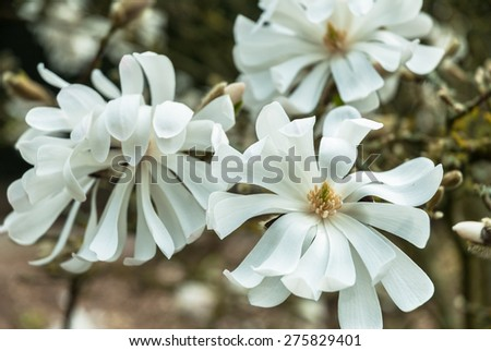 "White star magnolia ""stellata"" in flower in early spring. - stock photo"