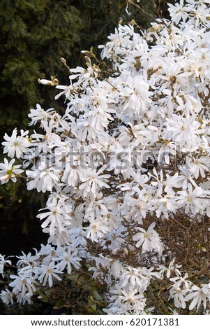 White star shaped flowers blooming star stock photo royalty free white star shaped flowers of a blooming star magnolia magnolia stellata shrub in spring mightylinksfo Images