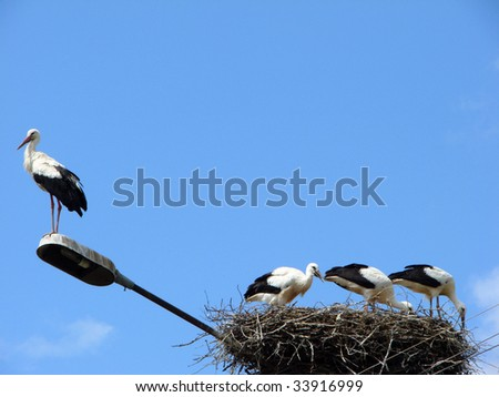 White Stork and baby storks - stock photo