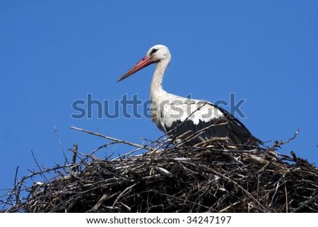 white stork / Ciconia ciconia - stock photo