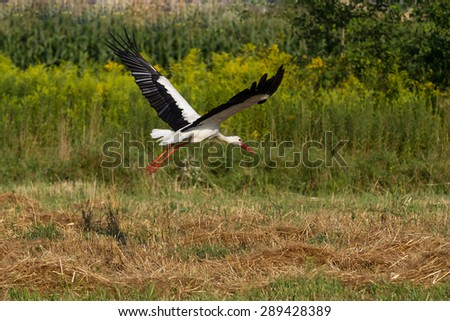 White stork (Ciconia ciconia) flying - stock photo