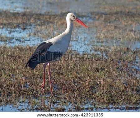 White stork (Ciconia ciconia) on the spring field - stock photo