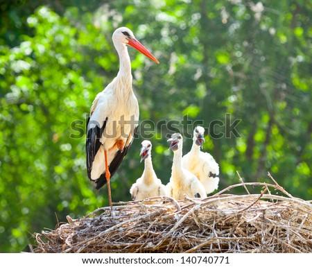 white stork family nest with little babies - stock photo