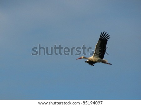 White Stork flying with blue sky
