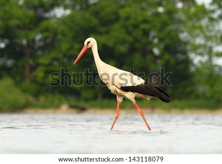 white Stork hunting - Ciconia ciconia - stock photo