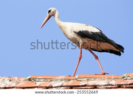 White stork in a walk on the house roof - stock photo