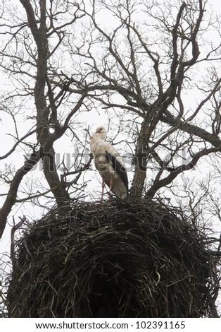 White Stork in nest in spring - stock photo