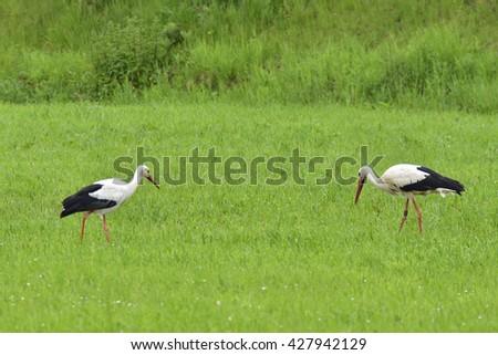 White stork on a meadow - stock photo
