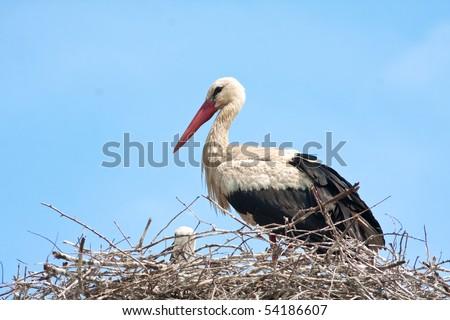 white stork on the nest / Ciconia ciconia - stock photo
