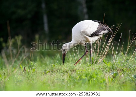 White stork searching food - stock photo
