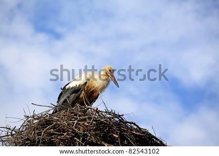 White stork sitting on the nest on blue sky background - stock photo