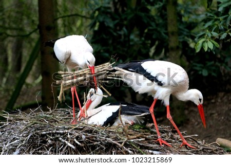 white storks [Ciconia ciconia] during nest building with one stork sit on eggs
