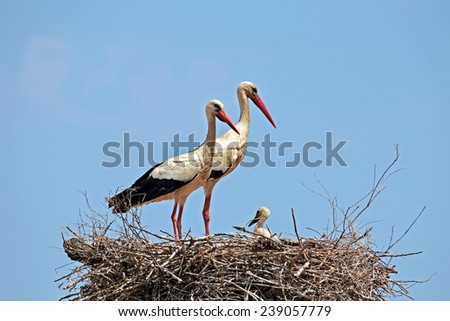White storks with their young on the nest - stock photo