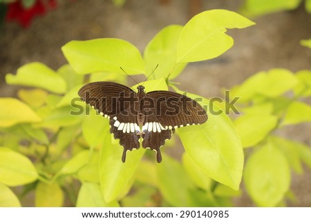 """White striped black """"Common Mormon"""" butterfly in Innsbruck, Austria. Its scientific name is Papilio Polytes, native to Asia. - stock photo"""