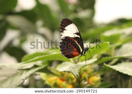 """White striped black """"Cydno Longwing"""" butterfly in Innsbruck, Austria. Its scientific name is Heliconius Cydno, native from Mexico to northern South America. - stock photo"""