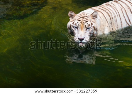 White strong calm confident beautiful wild tiger standing in clear tropical water - stock photo