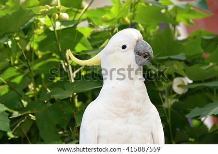 White Sulphur-crested cockatoo parrot in Australia  - stock photo