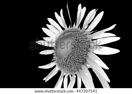 White Sunflower Background Black