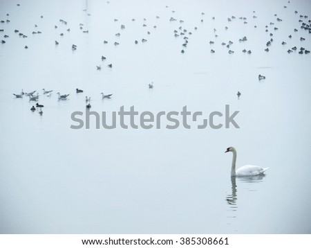 White swan and seagulls on water
