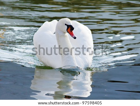 White Swan. Bird. - stock photo