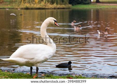 White Swan by a lake - stock photo
