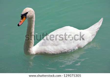 White Swan by the lake. - stock photo