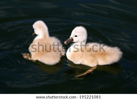 White Swan Cygnets in the water