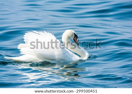 White swan (cygnus olor) swimming in the water - stock photo