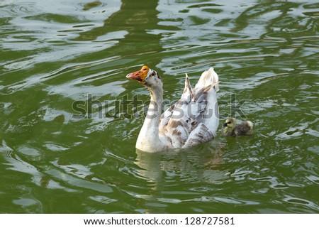 White swan family. - stock photo