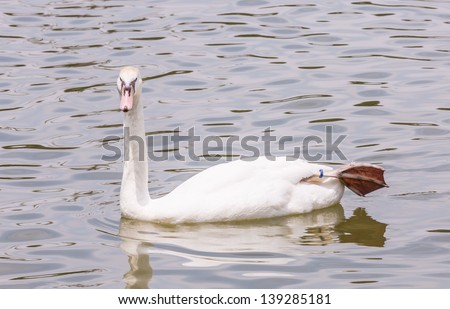 white swan floating and resting of its leg off the water - stock photo