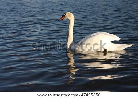 white swan santa