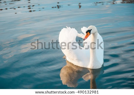 White swan floats in water. Bird isolated on blue background