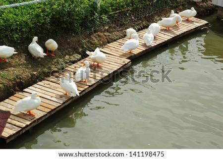 White swan flock. - stock photo