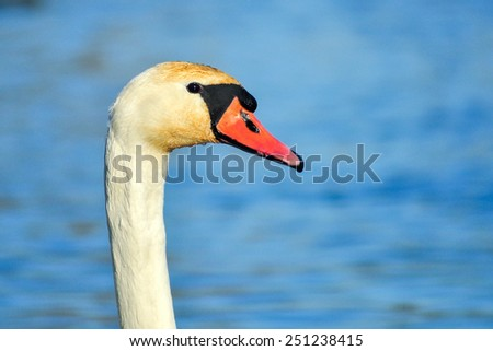 White Swan Head - stock photo