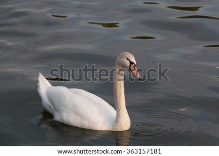 white swan in a lake - stock photo