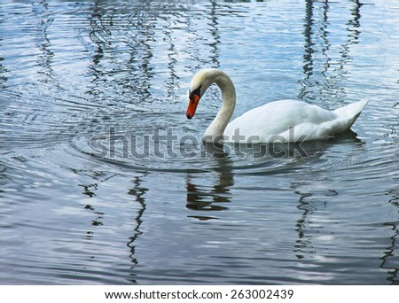 White Swan in blue background - toned image with copy space - stock photo