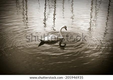 White swan in sepia background. White swan in a Switzerland lake  - stock photo