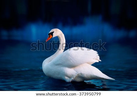 White swan in the lake with blue dark background on the sunset.  - stock photo