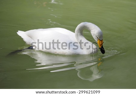 white swan in the water - stock photo