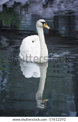 White swan in water - stock photo