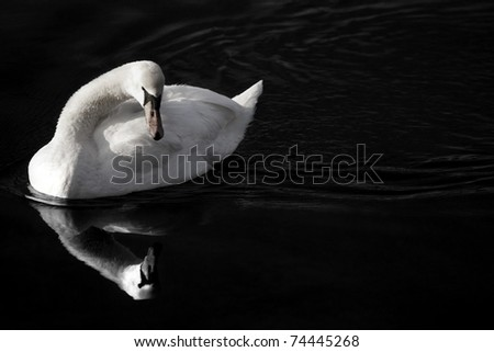 white swan looking in mirror - stock photo