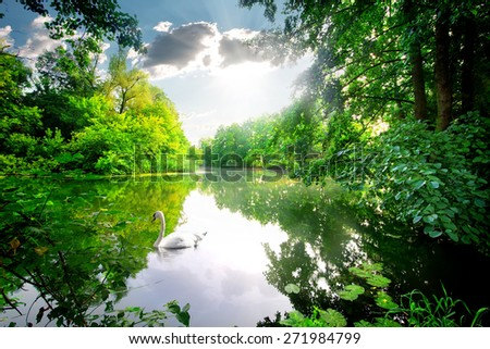 White swan on a calm river in the forest - stock photo