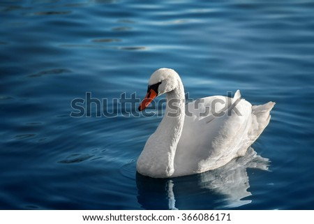 White swan on a pond on a clear day - stock photo