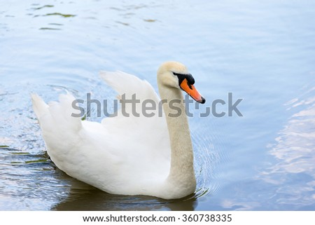 White swan on blue lake water in sunny day, swans on pond - stock photo