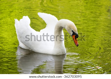 White swan on green lake water reflecting the foliage in sunny day, swans on pond - stock photo