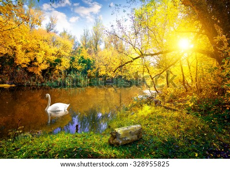 White swan on lake in autumn forest - stock photo