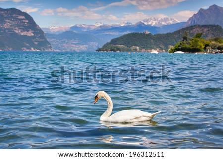White swan on Lake Iseo, Alps, Italy. - stock photo