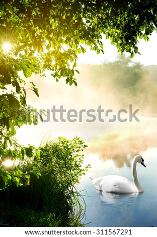 White swan on river in the morning - stock photo