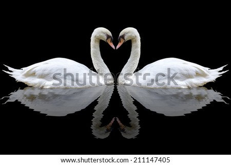 White swan on the black background - stock photo