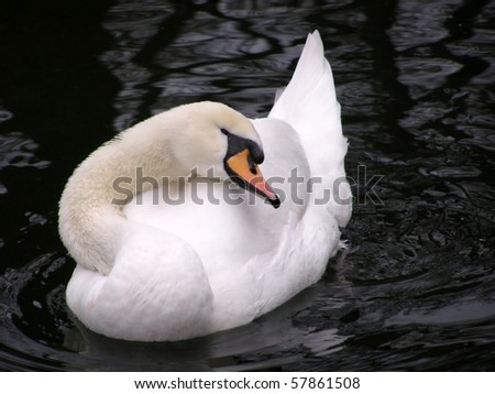 white swan on the black water